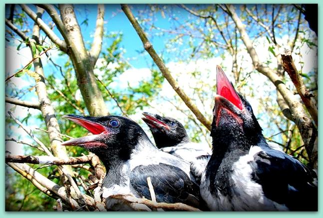 crows fledgling 2