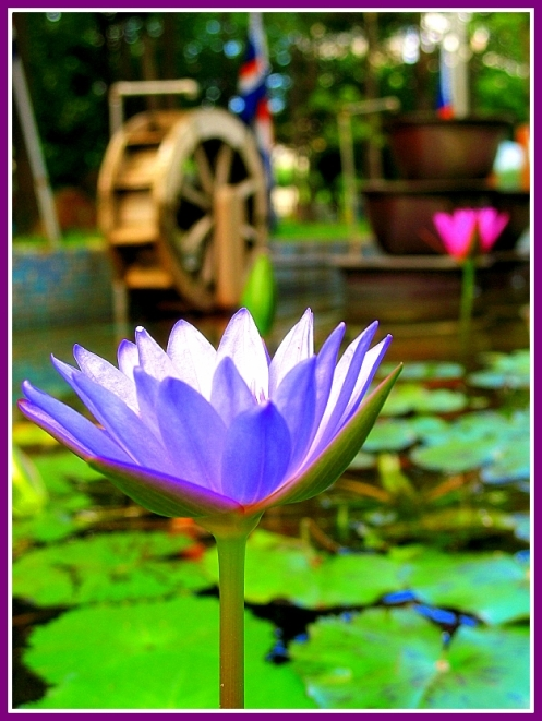 Blue Lotus Flower